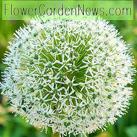Allium stipitatum 'White Giant' (Ornamental Løk)