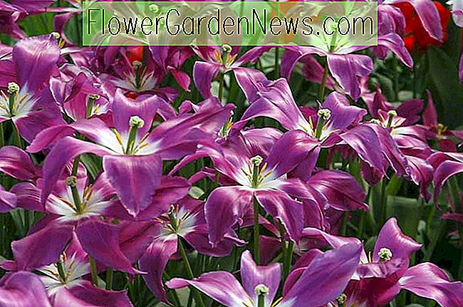 Tulipa 'Lilac Time' (Tulip floare de crin)