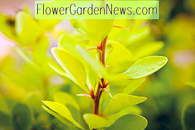 Berberis thunbergii 'Golden Rocket' (ญี่ปุ่น Barberry)
