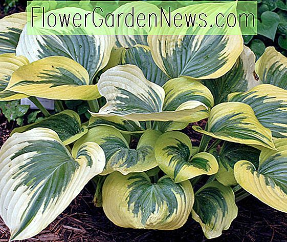 Hosta 'Liberty' (Weegbree Lily)