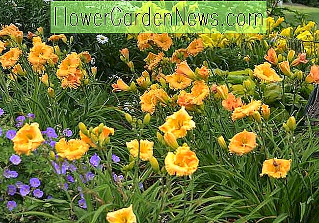 Hemerocallis Orange Smoothie, Taglilie Orange Smoothie, Taglilie Orange Smoothie, Orange Smoothie Daylily, Reblooming Taglilie, Taglilien, Taglilie, Tag Lilien, Orangenblüten, Orange Taglilie, Orange Taglilie, Orange Hemerocallis