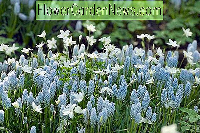 Muscari 'Baby's Breath' (Traubenhyazinthe)