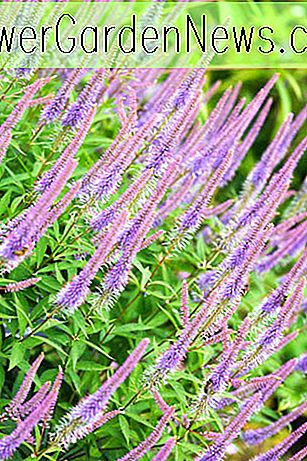 Veronicastrum virginicum 'Fascination' (Culver's Root)