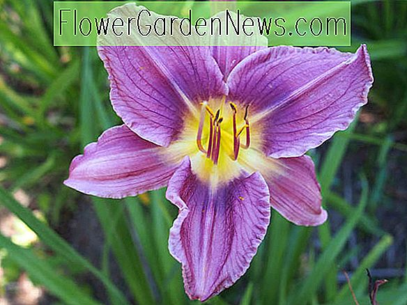 Hemerocallis 'Prairie Blue Eyes' (Daylily)
