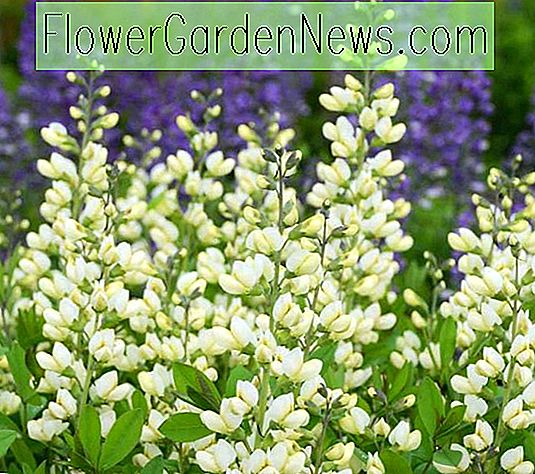 Baptisia 'Vanilla Cream' (False Indigo)