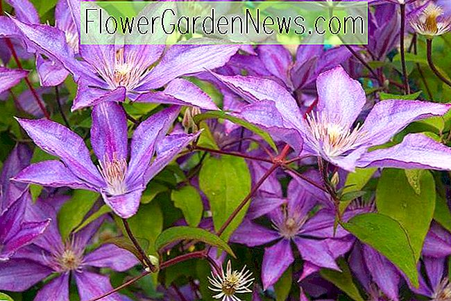 Great Clematis for Coastal South Region