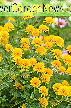 Heliopsis helianthoides (False Sunflower)