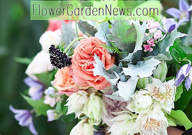 Pretty Roses and Clematis Combination Ideas (del 3)