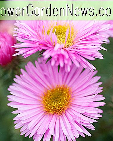 Aster novae-angliae 'Pink Victor' (New England Asters)