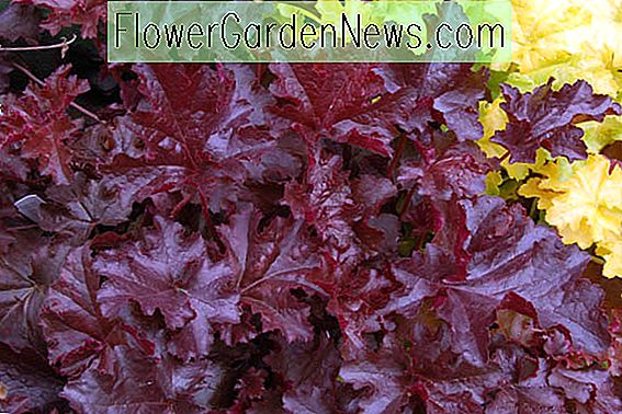 Heuchera 'Chocolate Rüschen' (Coral Bells)