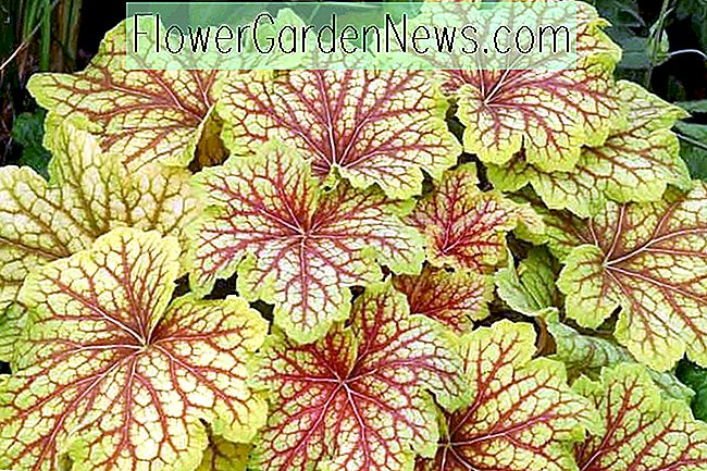 Heuchera 'Red Lightning' (Korallenglocken)