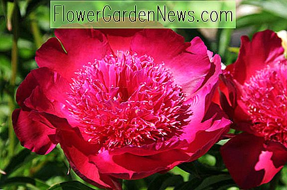 Paeonia 'Port Royale' (Pfingstrose)