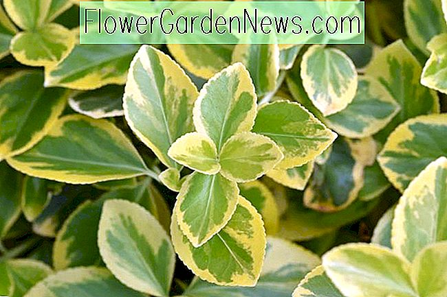 Euonymus fortunei 'Canadale Gold' (Wintercreeper)