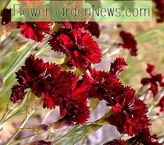 Dianthus caryophyllus 'King of the Blacks' (Anjer)
