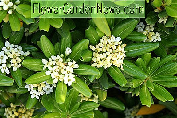 Pittosporum tobira 'Nanum' (Mock Orange)