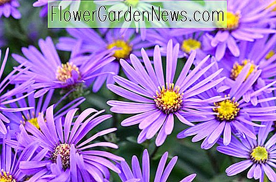 Aster amellus 'King George' (Italiaanse asters)