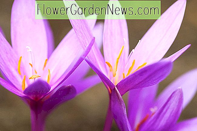 Colchicum autumnale 'Nancy Lindsay' (Meadow Saffron)