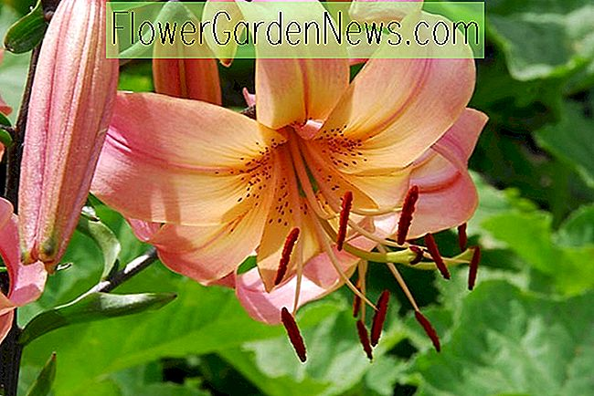 Lilium 'Lachs Twinkle', Lily 'Lachs Twinkle', asiatische Hybrid Lily 'Lachs Twinkle', Sommer blühende Birne, Frühsommer blühende Lilien, rosa Lilien, Lachs Lilien
