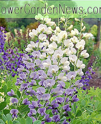 Baptisia 'Lunar Eclipse' (False Indigo)