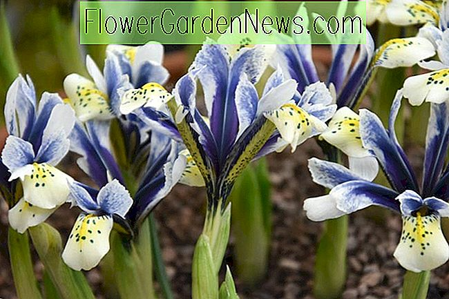 Iris 'Eye-Catcher' (Zwergiris)