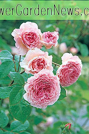 Rosa 'James Galway' (Auscrystal)