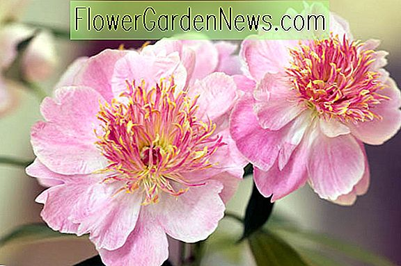 Paeonia lactiflora 'Do Tell' (Pivoine)