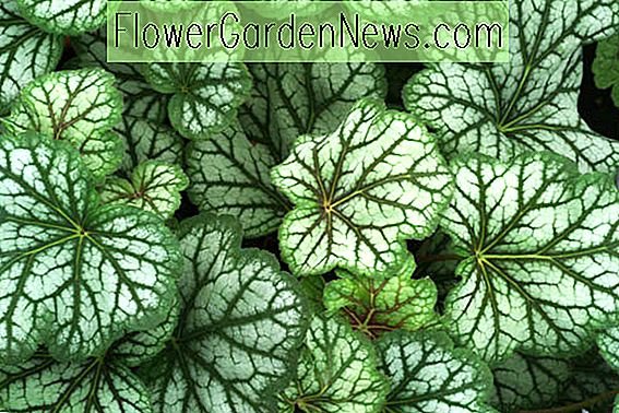 Heuchera 'Green Spice' (Coral Bells)
