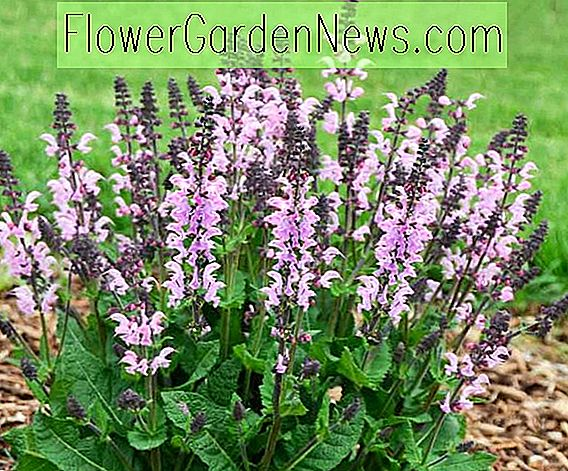Salvia nemorosa 'Pink Dawn' (salvie)