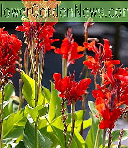 Canna 'Brilliant', Indian Shot 'Brilliant', Kana Lily 'Brilliant', Canna Lilienknollen, Canna Lilien, Rote Canna Lilien