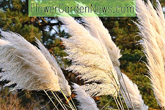 Cortaderia selloana (Pampas Grass)