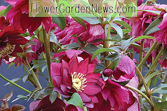 Helleborus Winter Jewels 'Red Sapphire'