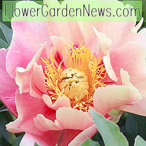 Paeonia 'Julia Rose' (Itoh Pfingstrose)