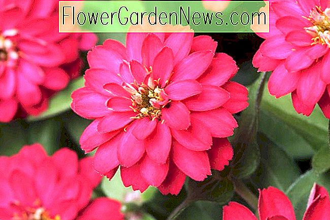 Zinnia Marylandica 'Double Zahara Kirsche'