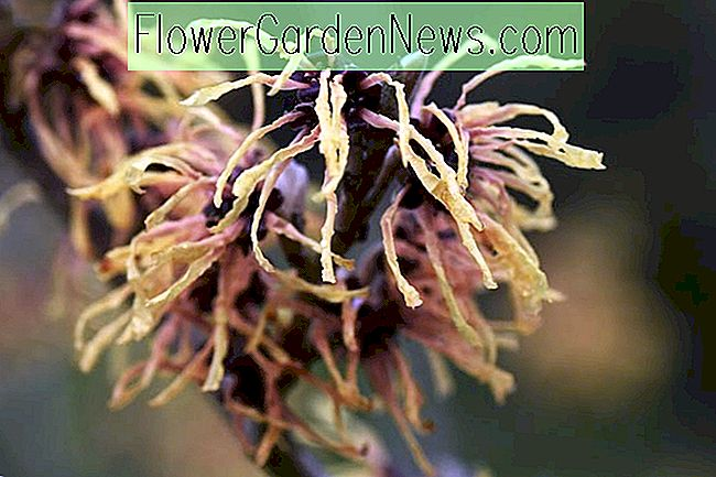 Hamamelis x intermedia 'Aurora' (Witch Hazel)