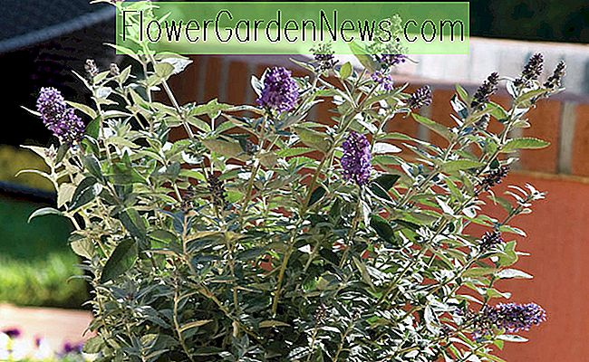 Buddleja 'Flutterby Petite Blue Heaven' (Butterfly Bush)