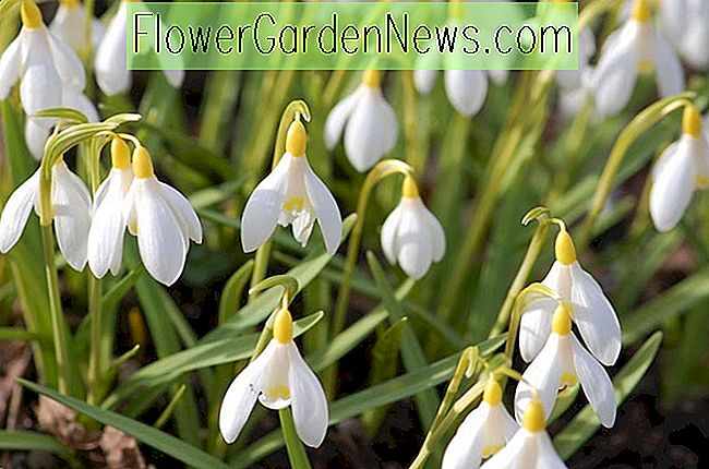Galanthus nivalis Sandersii Group (Perce-neige)