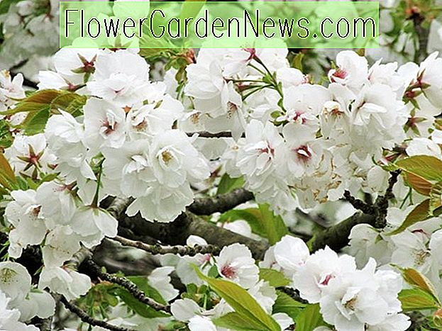 Prunus 'Shirotae' (Japanese Flowering Cherry)
