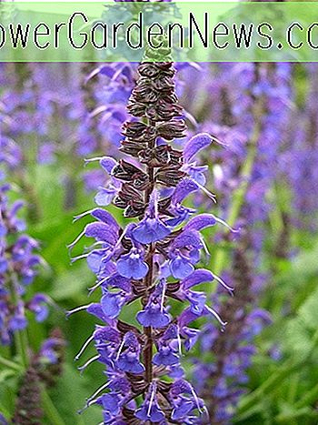 Salvia x sylvestris 'Mainacht' (Wood Sage)