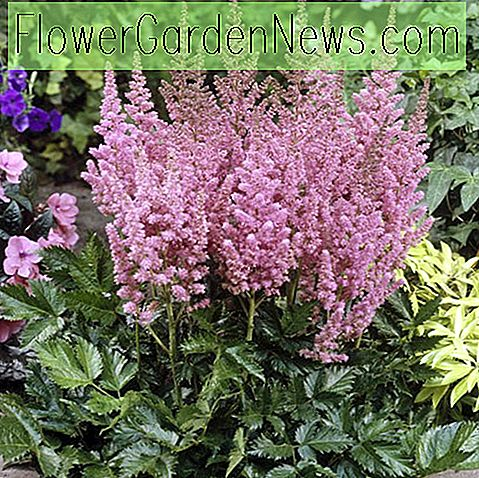Astilbe chinensis 'Vision'