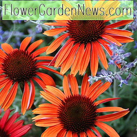 Echinacea 'Sundown' (Coneflower)