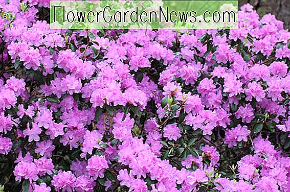 Rhododendron 'PJM Elite', 'PJM Elite' Rhododendron, PJM Group, Early Midseason Rhododendron, Evergreen Rhododendron, Purple Rhododendron, Purple Flowering Struik