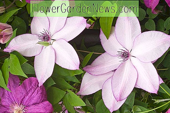 Clematis 'Fund Memories' (Late Large-Flowered Clematis)