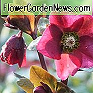Helleborus 'Anna's Red', Hellebore 'Annas Red', Lenten Rose 'Annas Red', Rodney Davey Marbled Gruppe, Red Hellebore, Single Hellebore