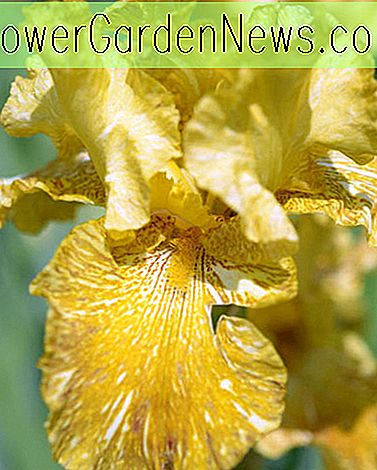 Iris 'Tiger Honey' (Schwertlilie)
