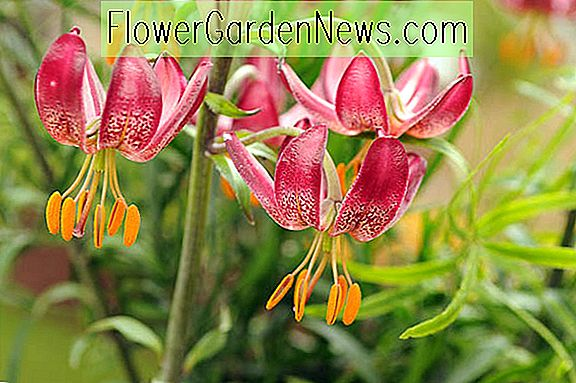 Lilium 'Manitoba Morning' (Martagon Lily)