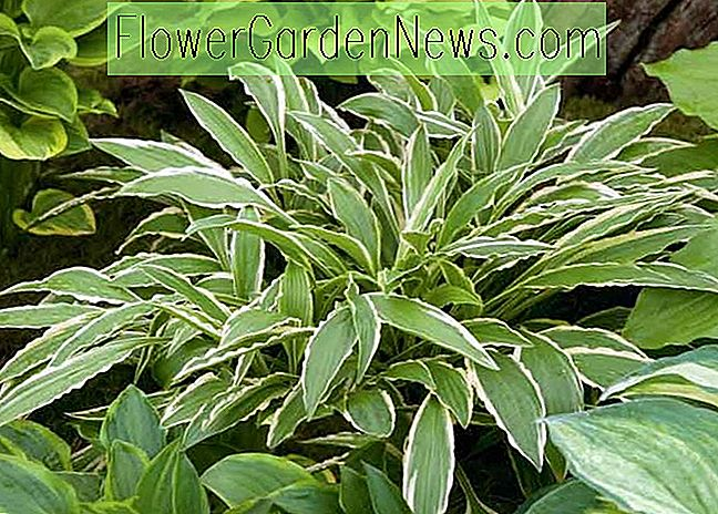 Hosta 'Stiletto' (Weegbree Lily)