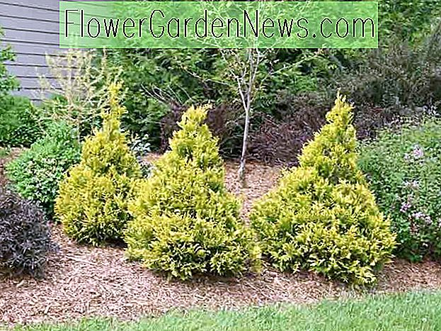 Chamaecyparis pisifera 'Soft Serve Gold' (Sawara Cypress)