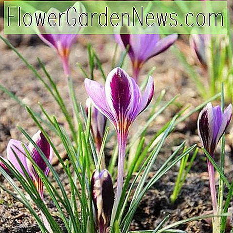 Crocus minimus 'Spring Beauty'