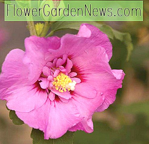 Hibiscus syriacus 'First Editions Tahiti' (Rose of Sharon)
