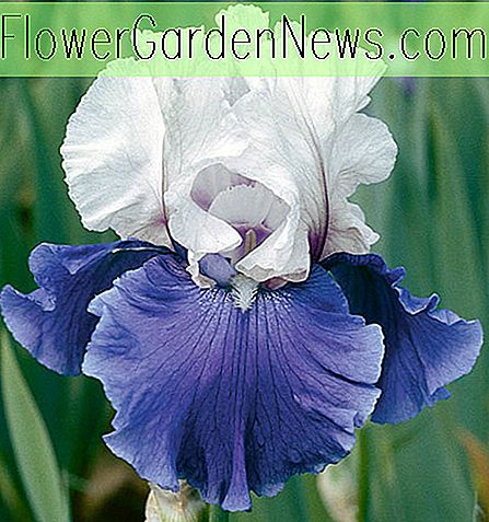 Iris 'Mariposa Skies' (Reblooming Bearded Iris)
